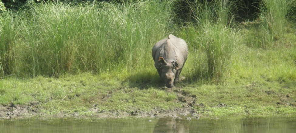 One horn Rhino found in Chitwan National Park