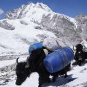 Yak descend from advance Base camp to Middle camp